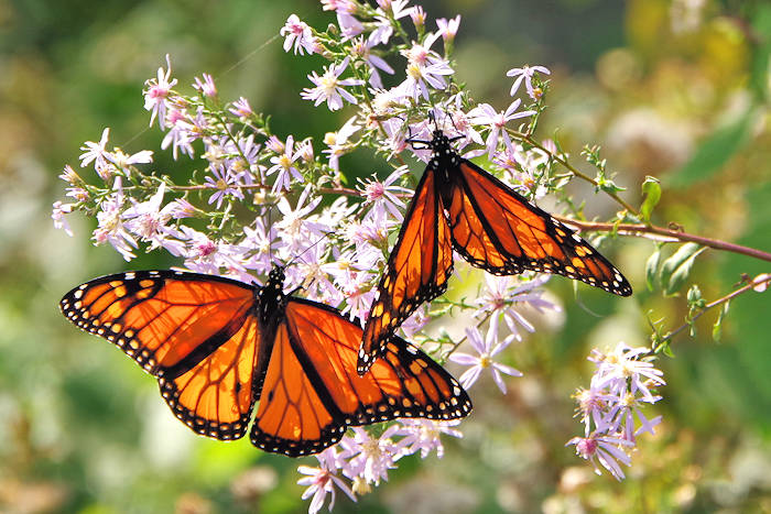 monarch_butterfly_NC